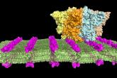 Peptidové nanoplátky urychlí výzkum a vývoj syntetických protilátek