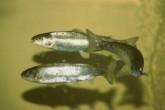 Robotické ryby se senzory míří do vod po celém světě